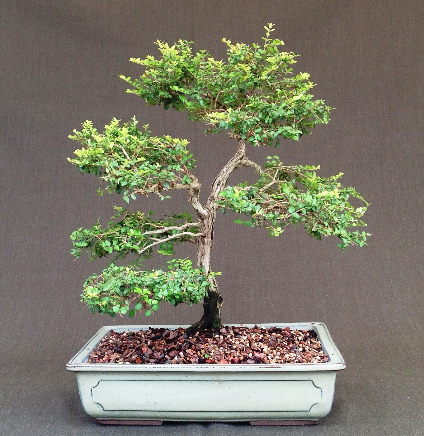 Living Art Bonsai Society