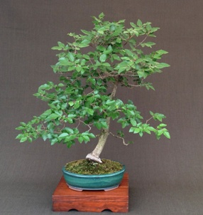 Korean Hornbeam