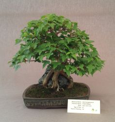 Trident Maple over Rock