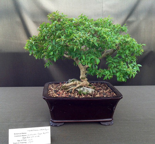 Chickasaw Crepe Myrtle