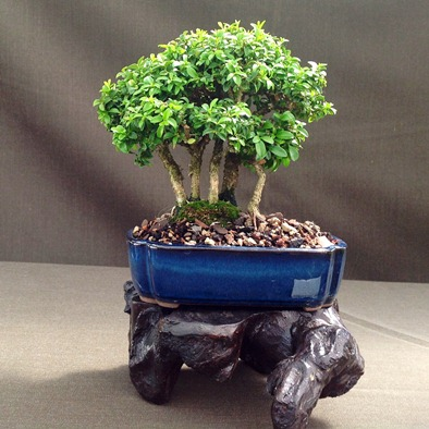 Kingsville Boxwood
